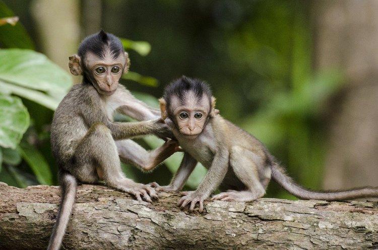 Çin Alarmda: 'Monkey B' Virüsünden İlk Ölüm Gerçekleşti